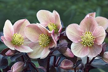 image of lenten rose