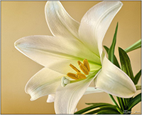 image of lily with gold background