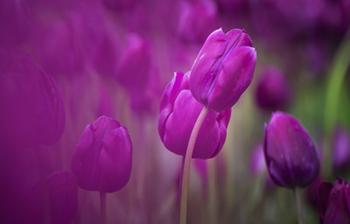 image of purple tulips